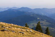 Germany, Baden-Wurttemberg, Black Forest, sheep and goats grazing on Belchen mountain - WDF04283