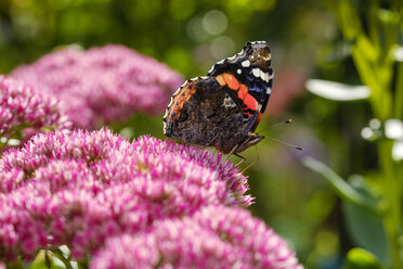 Red Admiral on blossom of cauliflower mushroom - SIEF07662
