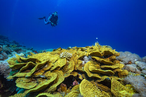 Egypt, Red Sea, Hurghada, scuba diver over yellow waver coral - YRF00170