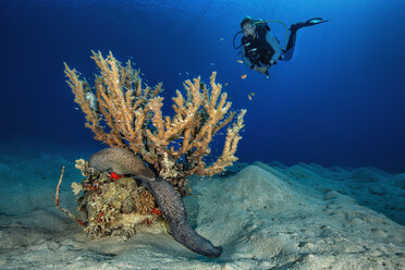 Egypt, Red Sea, Hurghada, scuba diver and giant moray - YRF00176