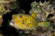Egypt, Red Sea, Hurghada, yellow boxfish - YRF00179