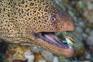 Egypt, Red Sea, Hurghada, giant moray with common cleaner wrasse - YRF00182