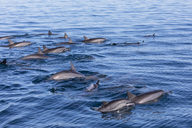 Mauritius, Indian Ocean, bottlenose dolphins, Tursiops truncatus - FOF09734