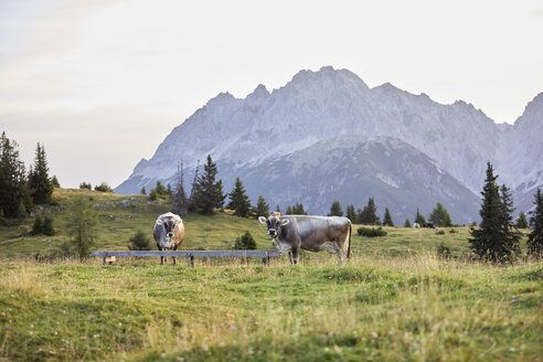 Austria, Tyrol, Mieming Plateau, cows on alpine meadow - CVF00059