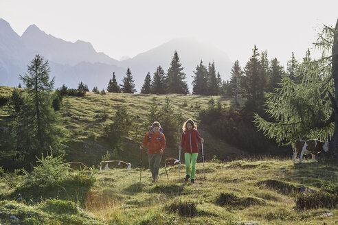 Austria, Tyrol, Mieming Plateau, hikers walking on alpine meadow with cows - CVF00062