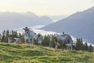 Austria, Tyrol, Mieming Plateau, cows on alpine meadow - CVF00065