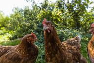 Free range chicken - TCF05453