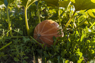 Pumpkin growing on field - TCF05456