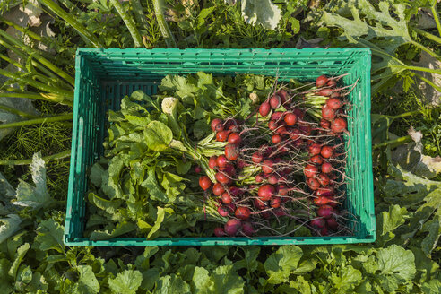 Harvested red radish in a box - TCF05462