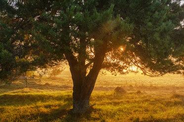 Germany, Bavaria, Lower Bavaria, Altmuehl Valley, Jachenhausen, Pine at sunrise - SIEF07684