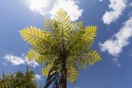 Mauritius, tree fern - FOF09810