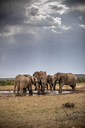 South Africa, Eastern, Cape, Addo Elephant National Park, african elephants, Loxodonta Africana - CVF00083