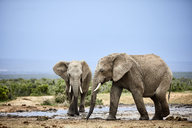 South Africa, Eastern, Cape, Addo Elephant National Park, african elephants, Loxodonta Africana - CVF00089