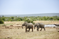 South Africa, Eastern, Cape, Addo Elephant National Park, african elephants, Loxodonta Africana - CVF00092
