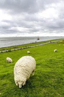 Germany, Schleswig-Holstein, Husum, herd of sheep on dike - PUF01178