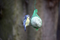Blue tit at fat ball - JTF00889