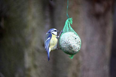 Blue tit at fat ball - JTF00889