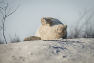 Germany, Helgoland, grey seal  sleeping on dune on the beach - KEBF00714
