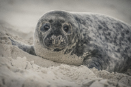 Germany, Helgoland, grey seal pup lying on the beach - KEBF00720