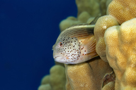 Egypt, Red Sea, Hurghada, Forster's Hawkfish - YRF00184