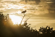 USA, Florida, Florida Keys,Tavernier Island, silhouettes of American White Ibises on a branch during sunrise - SHF01991