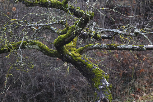 Germany, tree, branches, moss-grown in winter - JTF00896