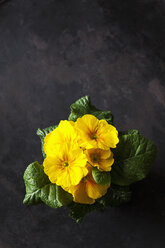 Yellow primrose - CSF28880
