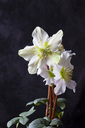 Christmas Rose in front of dark background - CSF28883