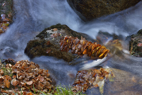 Germany, Saxony Anhalt, Harz National Park, Ilse Valley, river Ilse with autumn leaves on stone - RUEF01813