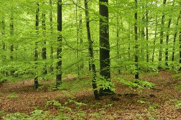Germany, Bavaria, Steigerwald, Forest in spring - RUEF01822