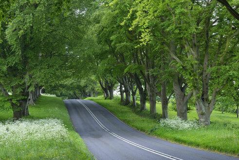 Great Britain, England, Dorset, Beech tree lined road - RUEF01825