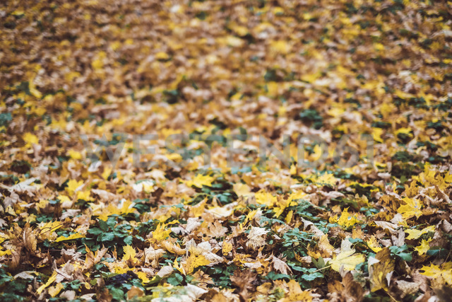 Autumn leaves - JSCF00037 - Jonathan Schöps/Westend61