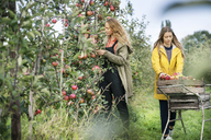 Two women harvesting apples in orchard - PESF00949