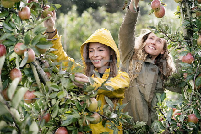 Two smiling women harvesting apples from tree in rain - PESF00955 - Peter Scholl/Westend61