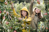 Two smiling women harvesting apples from tree in rain - PESF00955