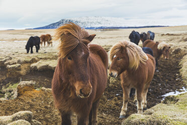 Iceland,  Wild horses with snowy mountains in background - WPEF00095