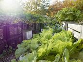 Lettuces growing in vegetable garden - FSIF00126