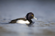 UK, Scotland, swimming tufted duck - MJOF01468