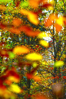 Golden autumn - JTF00908