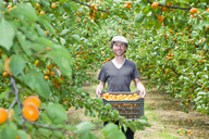 A man holding a crate full of apricots in an orchard - FSIF00378