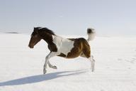 Horse running in snow - FSIF00672