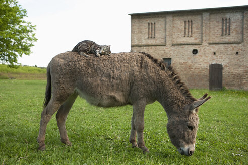 Cat lying on donkey - FSIF00684