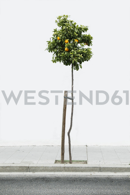 Lemon tree on sidewalk - FSIF00816
