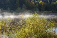 Germany, Bavaria, Upper Bavaria, Deininger Weiher, reed and morning fog - SIEF07718