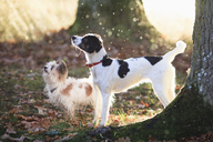Dogs standing by trees in forest during sunny day - FSIF01060