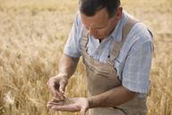 Mature male farmer examining wheat crops at farm - FSIF01150