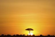 Herd of wildebeest in field against dramatic sky during sunset, Kenya - FSIF01289