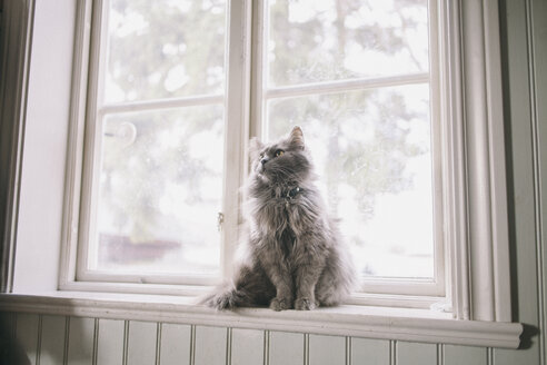 Maine Coon looking away while sitting on window sill - FSIF01340