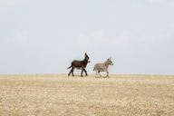 Side view of donkeys walking on agricultural field against sky - FSIF01532