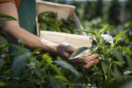 Hand examining crop - FSIF02069